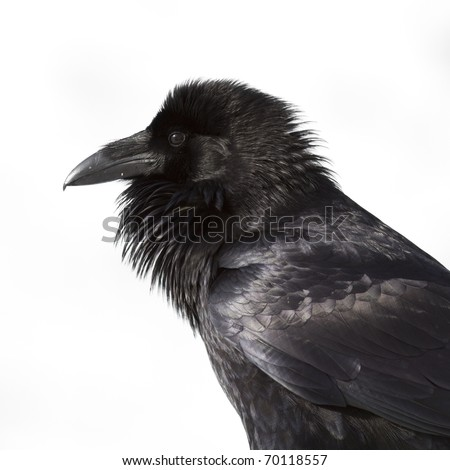 This raven sat near me on a post,  looking for food from me I guess. - stock photo