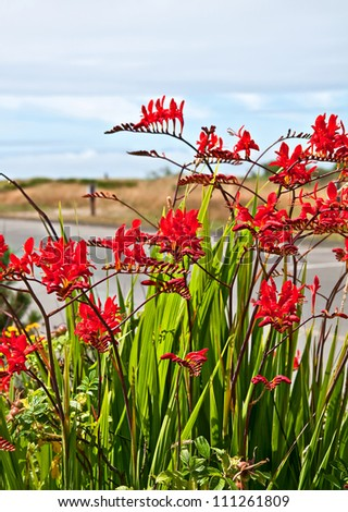 This red flower is a perennial bulb called Crocosmia Lucifer Montbretia plant with dunes and ocean in the far distance.  Vertical format with no people. - stock photo