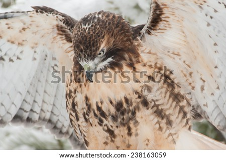 This red-tailed hawk (Buteo jamaicensis) is a bird of prey. It breeds mainly in North America and has a wing span of 43-57 inches - stock photo