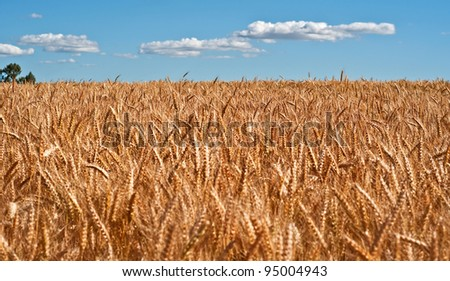 This rural agriculture stock image is a large wheat field, ripe with golden grain with blue sky and puffy white clouds.  The wheat is ripe and ready for harvest. - stock photo