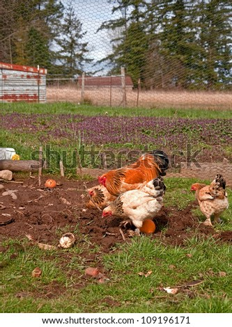 This rural life scene on a farm are Buff Braham chickens and a rooster hunting for worms in their pen.  Also seen is an orange a various other produce in their eating area. - stock photo
