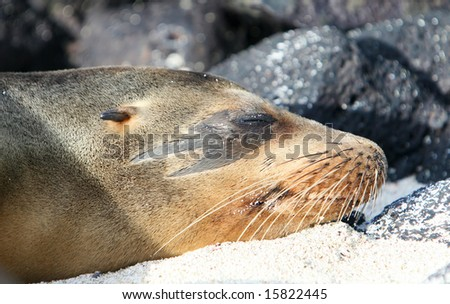 This Sea Lion has a unique marking around his eye - stock photo