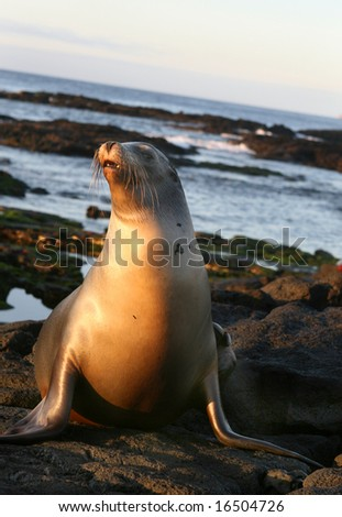 This Sea Lion is ready for a swim in the cool waters off the Galapagos Islands, Ecuador - stock photo
