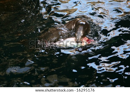 This Sea Lion is ripping apart a fish which it caught in the Galapagos Islands - stock photo