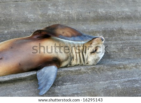 This Sea Lion is trying to figure out the answer. I do not know the question. - stock photo