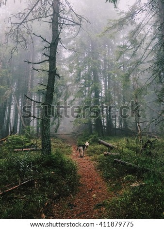 This, severe forest trail in the Carpathian Mountains. Centenary, tall spruce. The dog accompanies the road. Wonderful colors. - stock photo