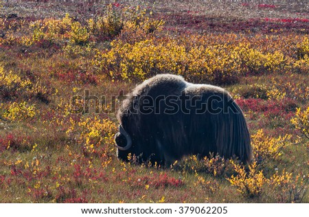 This shaggy beast grazes on the tundra in its fall colors, with yellow willows and red dwarf birch - stock photo