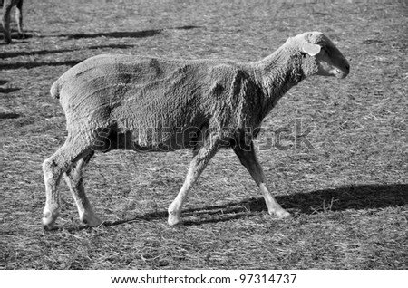 This sheep on a California ranch has just been shorn and awaits transportation to green alfalfa fields (monotone image) - stock photo