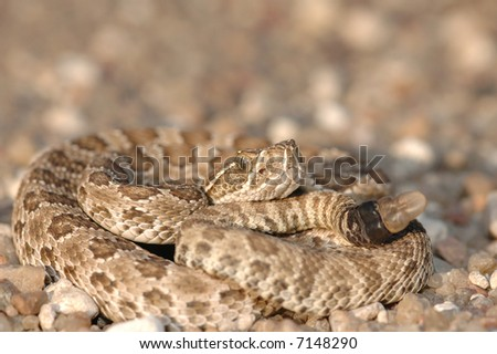 This small prairie rattlesnake was found crossing a gravel road between two crop fields. - stock photo