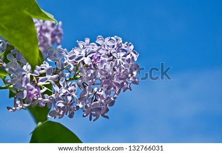 This spray of a light blue purple lilac flower against a bright blue sky signals the arrival of spring, with this heavy fragrant flower. - stock photo