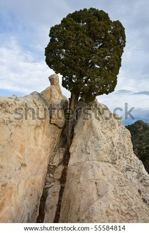 This tree has done well with the sparse nourishment provided from the rocky ground in Garden of the Gods park. - stock photo