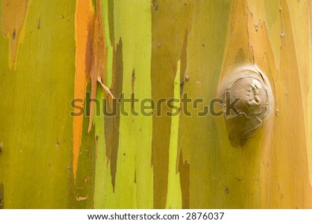 "This tree sheds its bark in shades of green orange red and brown. Completely ""organic"" image. No alteration whatsoever. - stock photo"