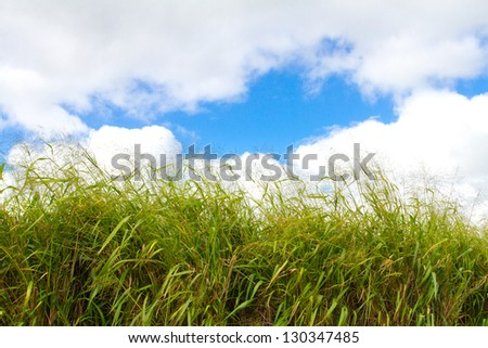This tropical green grass on the island of Oahu Hawaii is photographed against a bright blue sky with some puffy white clouds. - stock photo