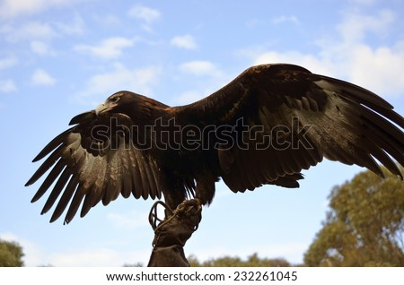 this wedge tailed eagle has his wings outstretched - stock photo