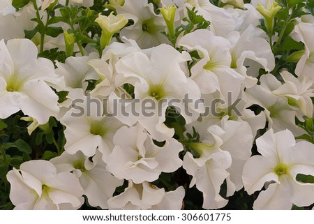 This white petunia flowers may be used as background