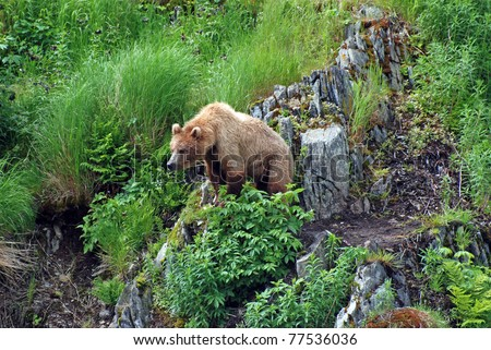 This young kodiak grizzly is watching a potential larger bear as he approaches the area near Fraser Lake on Kodiak Island