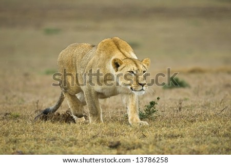 This young Lioness shows how it is done stalking up on a warthog - stock photo