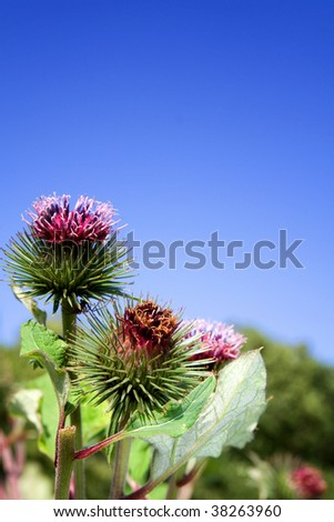 thistle against blue sky. wild flower or weed with spikes and the ...