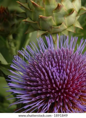 Thistle Bloom - stock photo