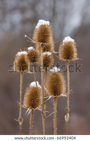 Thistle covered with snow - stock photo