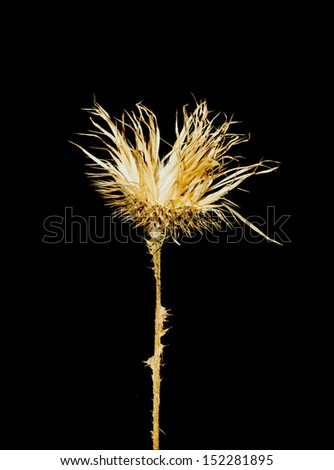 Thistle dried and isolated on black background - stock photo