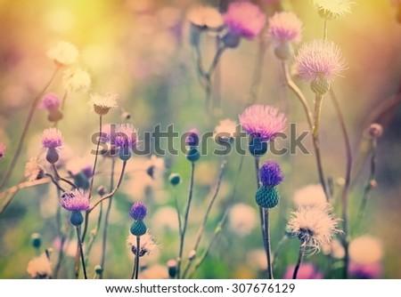 Thistle flower - burdock flower lit by sunlight  - stock photo