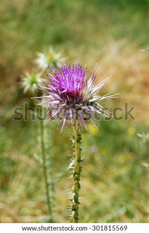 thistle flower close-up photo - stock photo