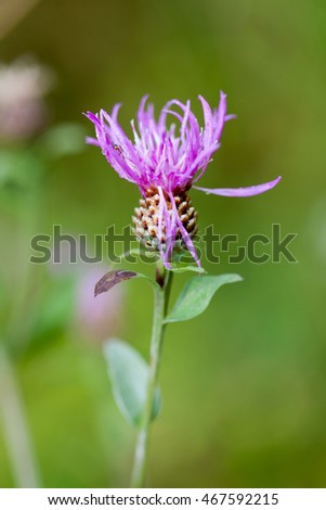 Thistle Flower Head, Selective focus