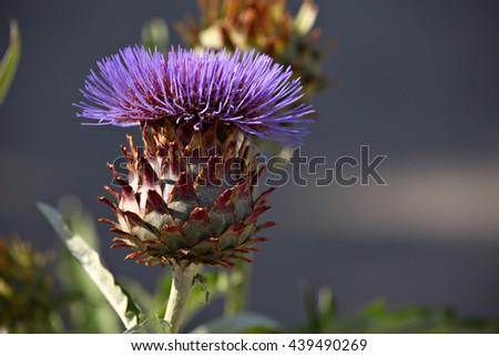 Thistle flower on blur background - stock photo