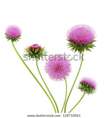 Thistle flowers - stock photo