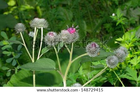 thistle flowers - stock photo