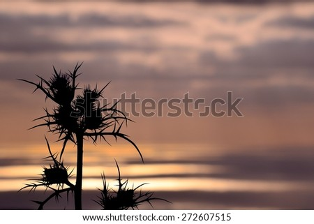 Thistle flowers at sunrise in foreground on colored skyline - stock photo