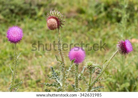 Thistle flowers in various stages of bloom and blossoming - stock photo