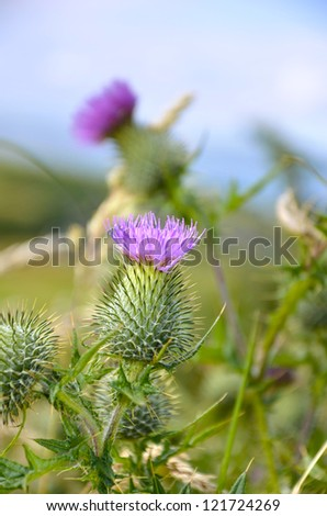 Thistle in Scotland, Scottish national flower - stock photo