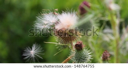 Thistle seeds - stock photo