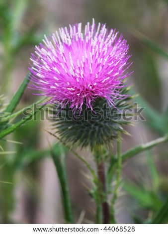 Thistle, the national flower of Scotland - stock photo