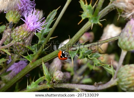 thistles with hunting ladybird - stock photo