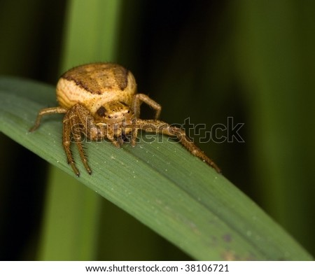 Thomisidae spider (Golden crab spider) ready to make an attack - stock photo