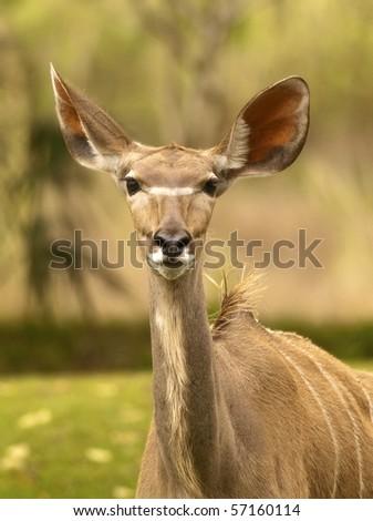 Thompson Gazelle - stock photo