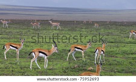 Thompson Gazelles in Serengeti National Park, Tanzania. - stock photo