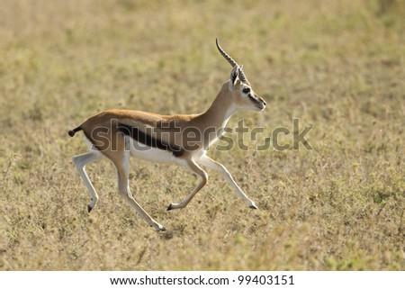 Thompson's Gazelle running (Eudorcas thomsonii) Tanzania's Serengeti - stock photo