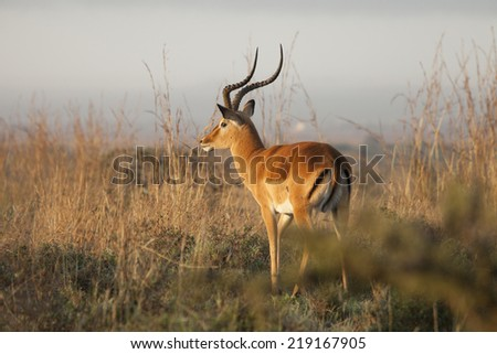 thompsons gazelle in nairobi national park - stock photo
