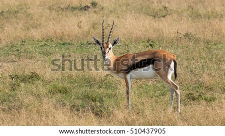 Thomson's gazelle in Kenya