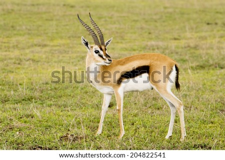 Thomson's Gazelle, Ngorongoro Crater, Serengeti National Park, Tanzania, Africa