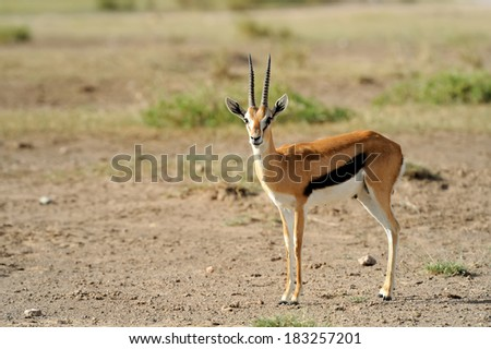 Thomson's gazelle on savanna in Africa - stock photo