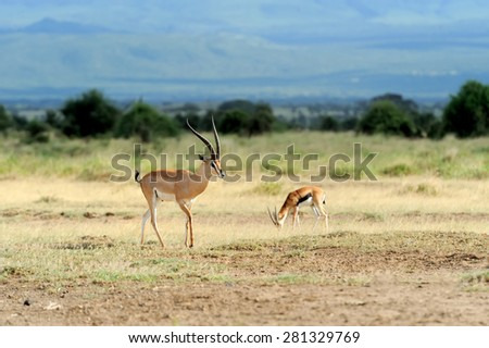 Thomson's gazelle on savanna in National park. Kenya, Africa - stock photo