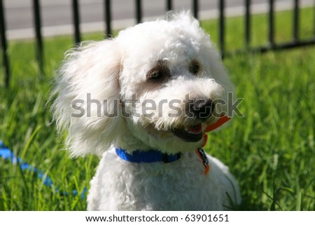 "Thor a ""Maltipoo"" (maltese-poodle) mix breed dog, smiles as he enjoys a nice warm day playing in the grass - stock photo"