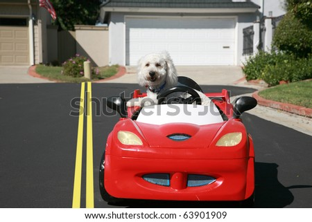 "Thor our new ""Maltipoo"" (maltese-poodle) mix breed dog, smiles as he enjoys a a ride in his Hot Rod Sports Car - stock photo"