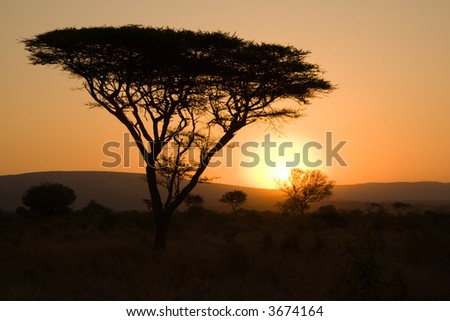 Thorn tree silhouette - South Africa - stock photo
