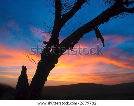 Thorn tree with sunset - stock photo